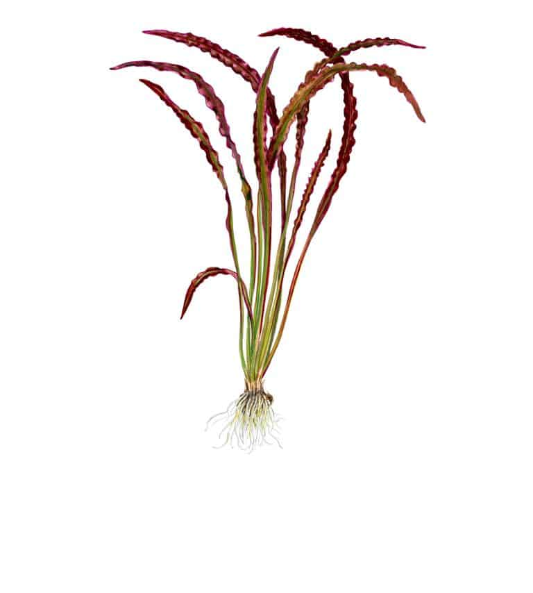 Aponogeton crispus 'Red'