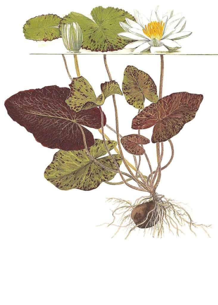 Nymphaea lotus 2
