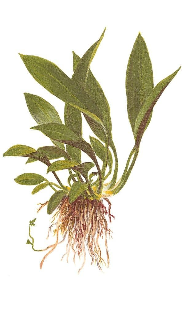 Anubias barteri var. angustifolia 1