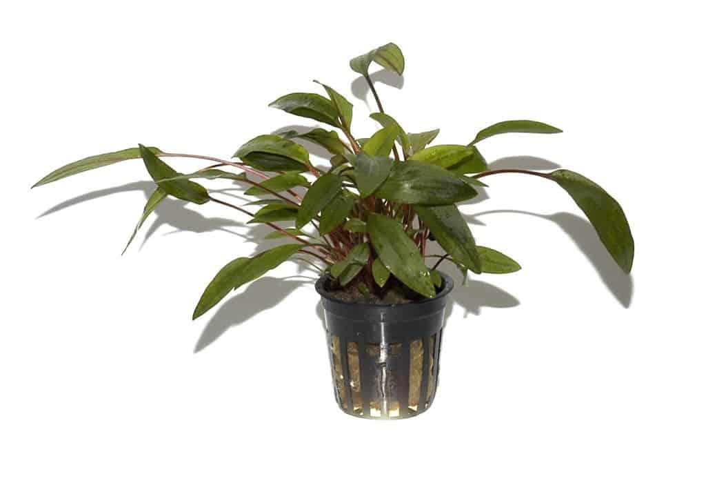 Cryptocoryne undulata ''broad leaves''