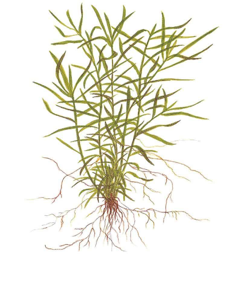Heteranthera zosterifolia 1