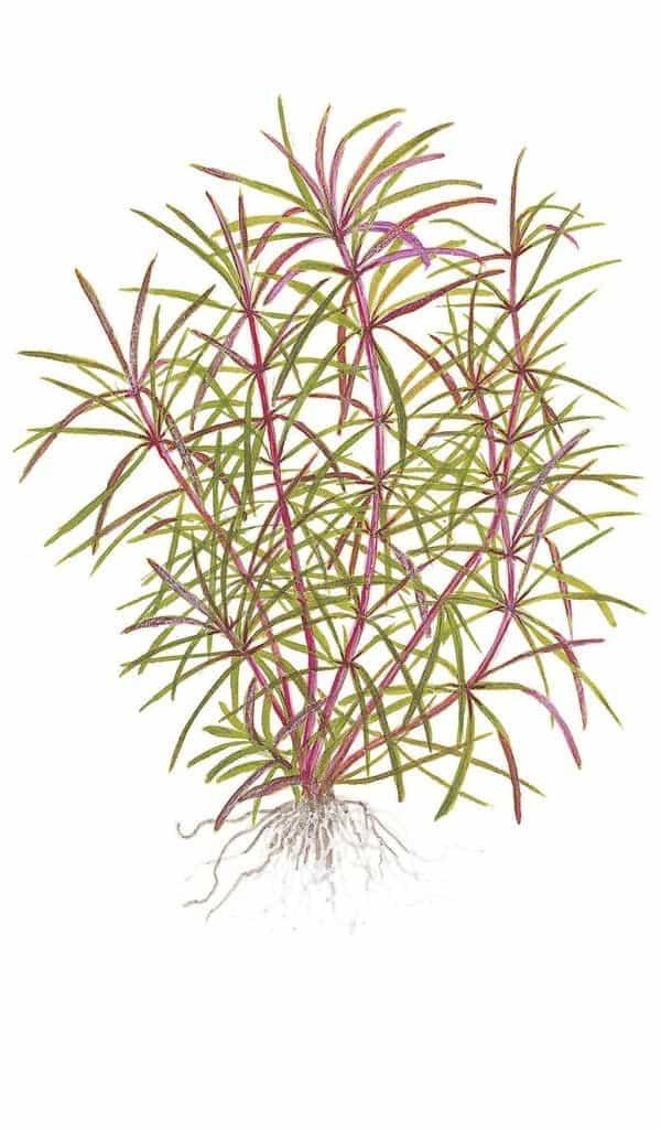 Pogostemon stellata (Eusteralis) 2