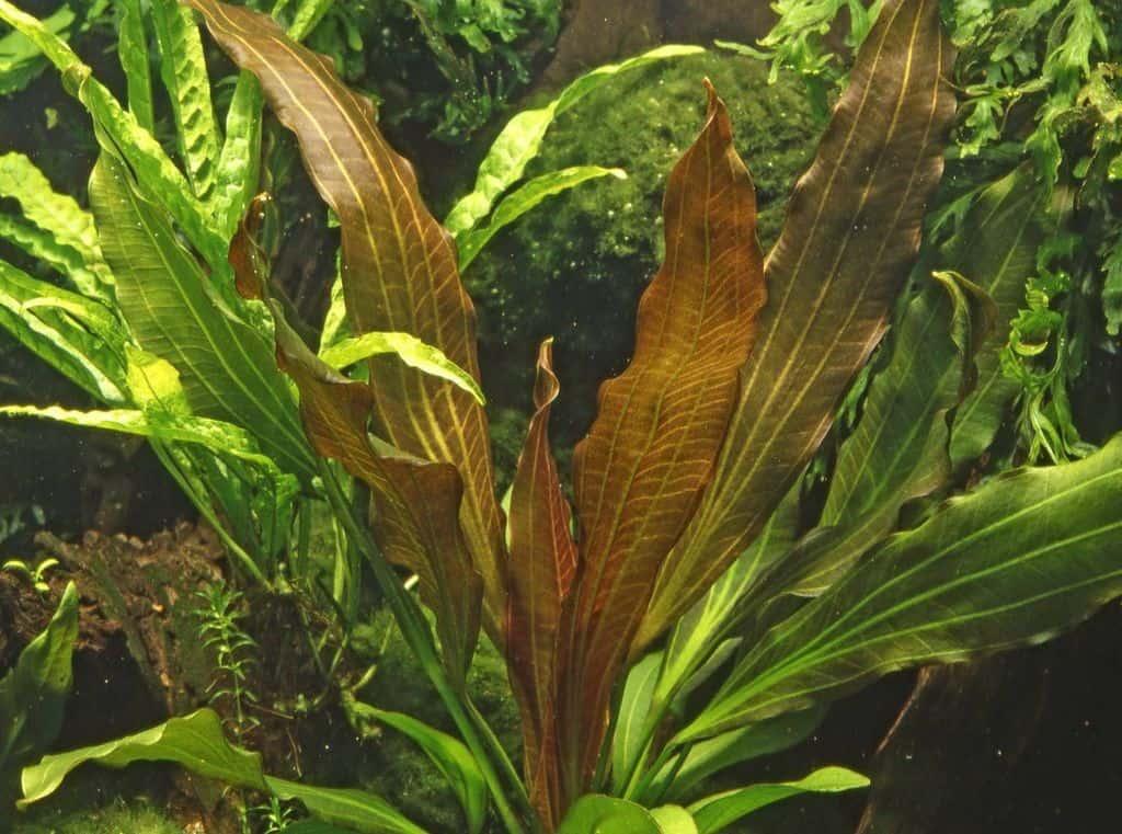 Echinodorus 'Rubin' 2