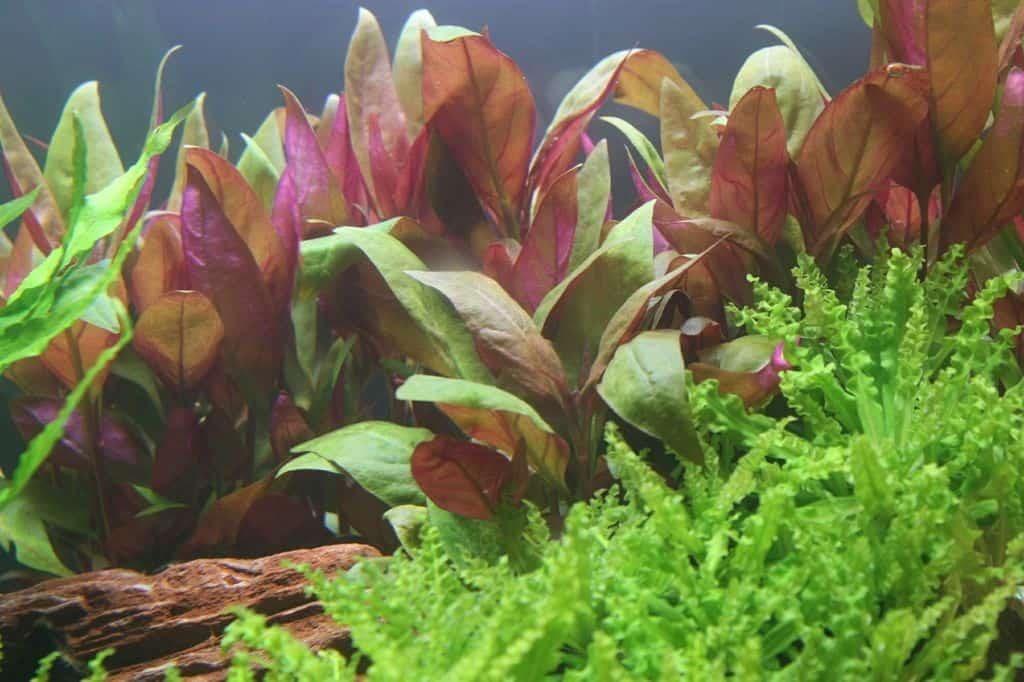 Alternanthera reineckii 'Purple' (lilacina) 1