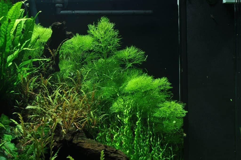 Limnophila aquatica 2