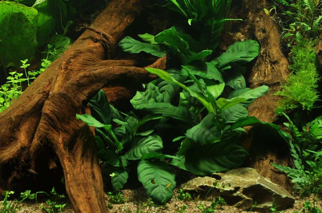 Anubias barteri var. coffeefolia 2