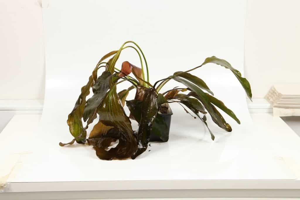 Echinodorus 'Rubin' 1