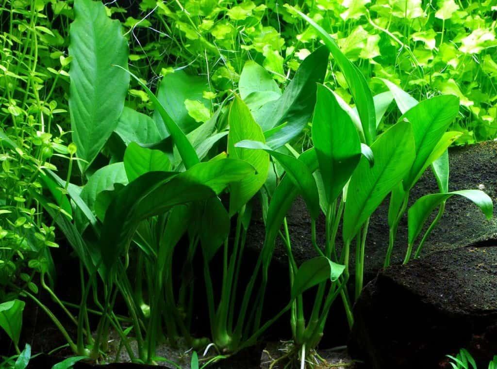 Anubias barteri var. angustifolia 2