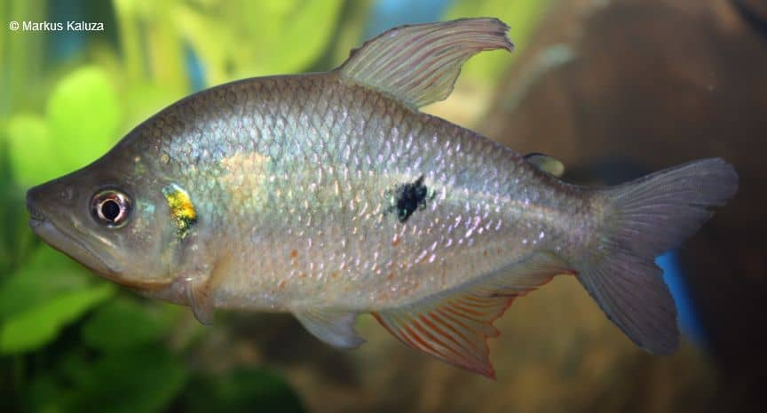 Rhoadsia altipinna - Regenbogensalmler 1