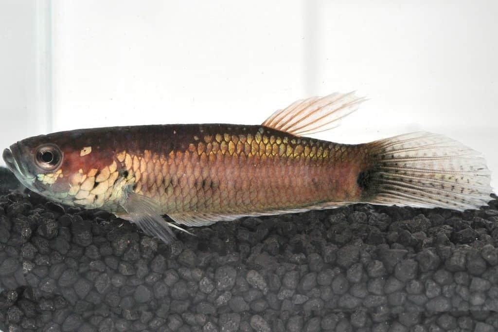 Betta unimaculata - Schlanker Riesenkampffisch 9