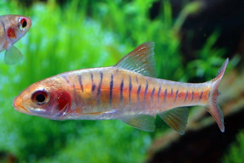 Barbus fasciolatus - Angolabarbe 5
