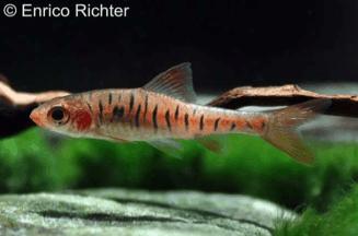 Barbus fasciolatus - Angolabarbe 4