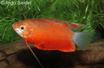 Trichogaster labiosa - Dicklippiger Fadenfisch 1