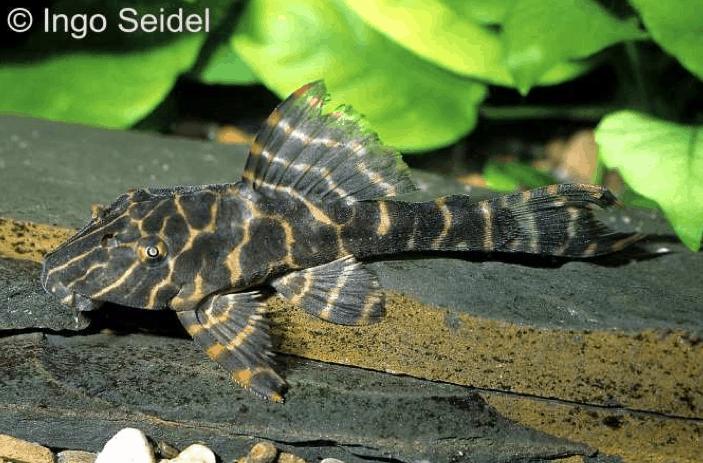 Hypostomus latifrons - Wabenmuster-Schilderwels 1