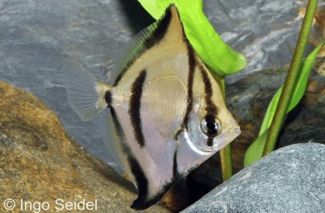 Monodactylus sebae - Seba-Silberflossenblatt 1