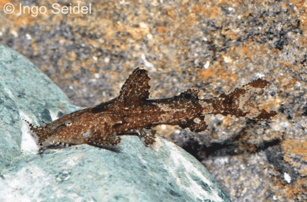 Pseudolaguvia ferruginea - Gebirgswels