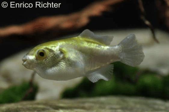 Auriglobus cf. nefastus - Grüner Neon-Süßwasserkugelfisch 1