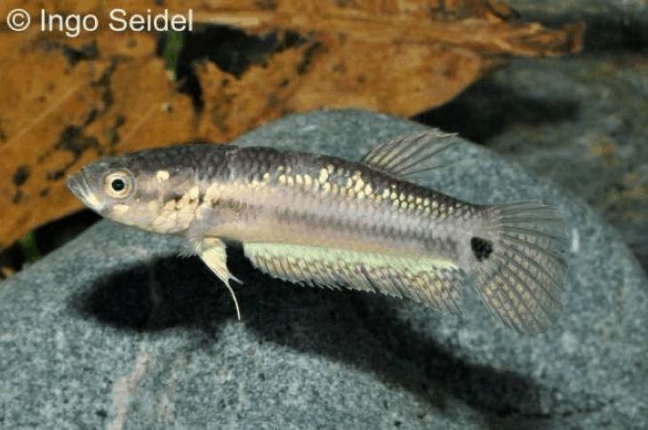 Betta unimaculata - Schlanker Riesenkampffisch 11
