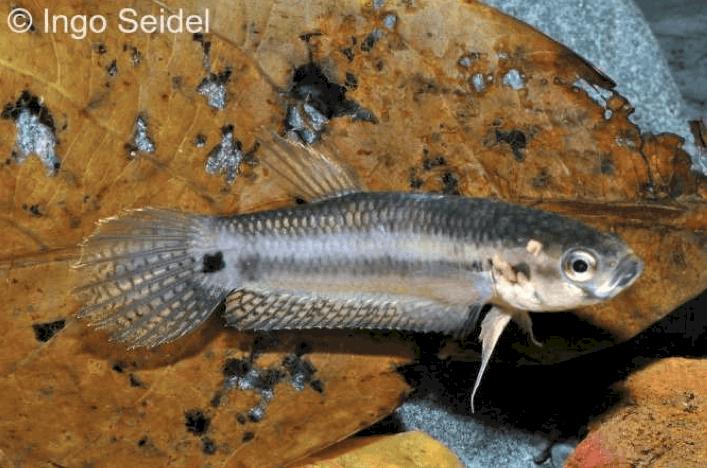 Betta unimaculata - Schlanker Riesenkampffisch 10