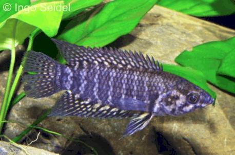 Verbreitungskarte und Fischentwicklung in der Erdgeschichte 35