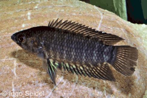 Microctenopoma fasciolatum - Gebänderter Buschfisch 1