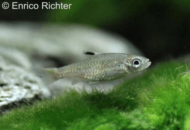 Brevibora dorsiocellata - Leuchtaugenbärbling 1