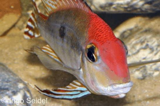 """Geophagus sp. """"Red Head"""" - Rotkopf-Erdfresser 1"""