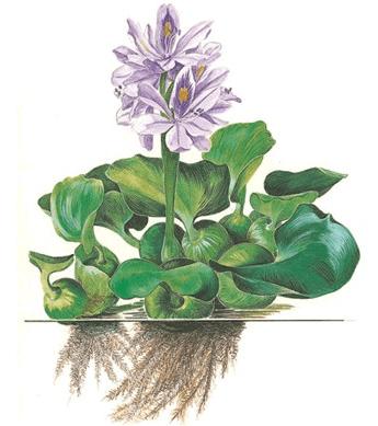 Eichhornia crassipes 1