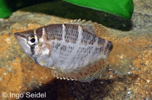 Sphaerichthys selatanensis - Kirsch-Schokoladengurami 1