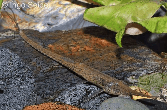 Farlowella platorynchus - Langnasen-Nadelwels 2