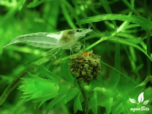 Neocaridina palmata - Weißperlengarnele 1