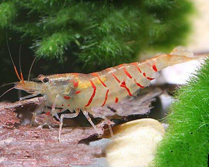 Caridina cf. cantonensis- Rote Tigergarnele 3