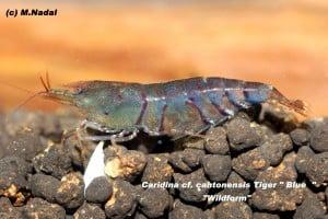 Caridina cf. cantonesis - Blaue Tigergarnele 6