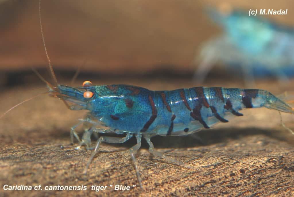 Caridina cf. cantonesis - Blaue Tigergarnele 7