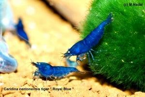 Caridina cf. cantonesis - Blaue Tigergarnele 3