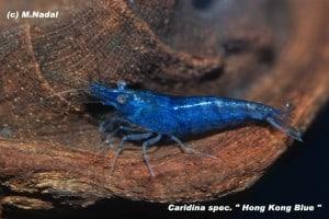 Caridina cf. cantonesis - Blaue Tigergarnele 4