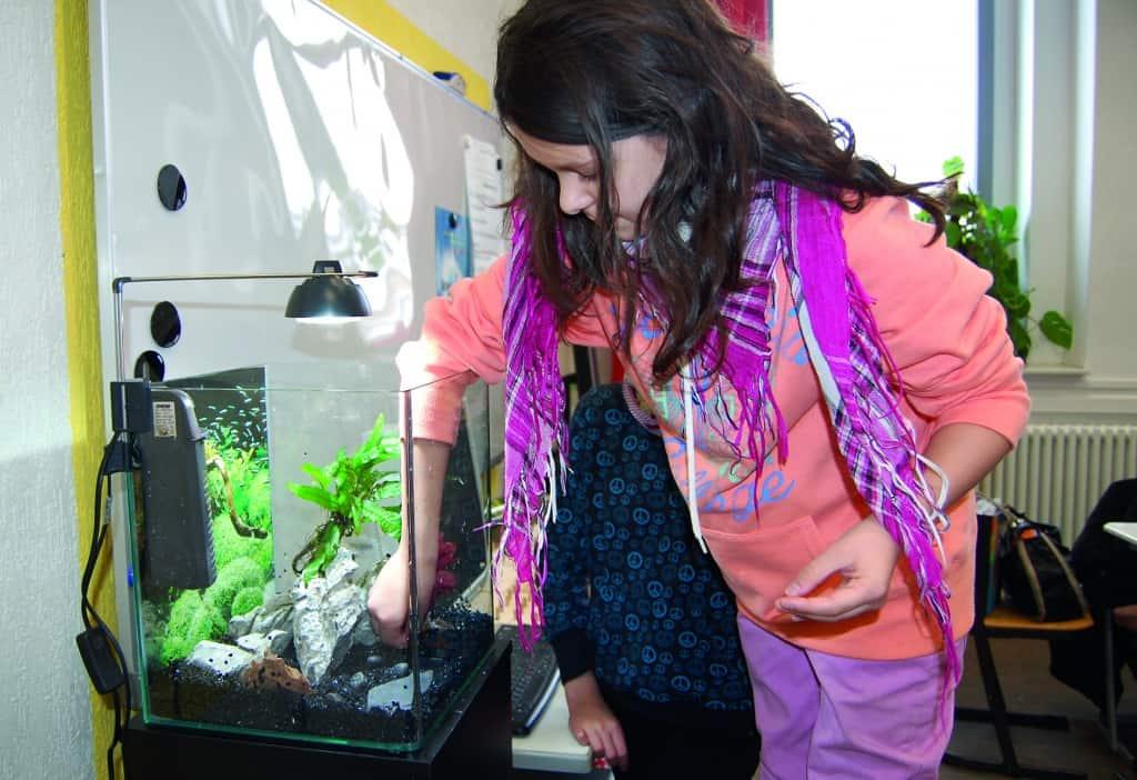 Da jeder der Schüler aktiv mithelfen wollte wurden die verschiedenen Arbeitsschritte beim Einrichten des Aquariums unter den Kindern aufgeteilt. Das kleine Mädchen mußte auf einem Stuhl stehen um die Wasserpflanzen in den Kies einpflanzen zu können.