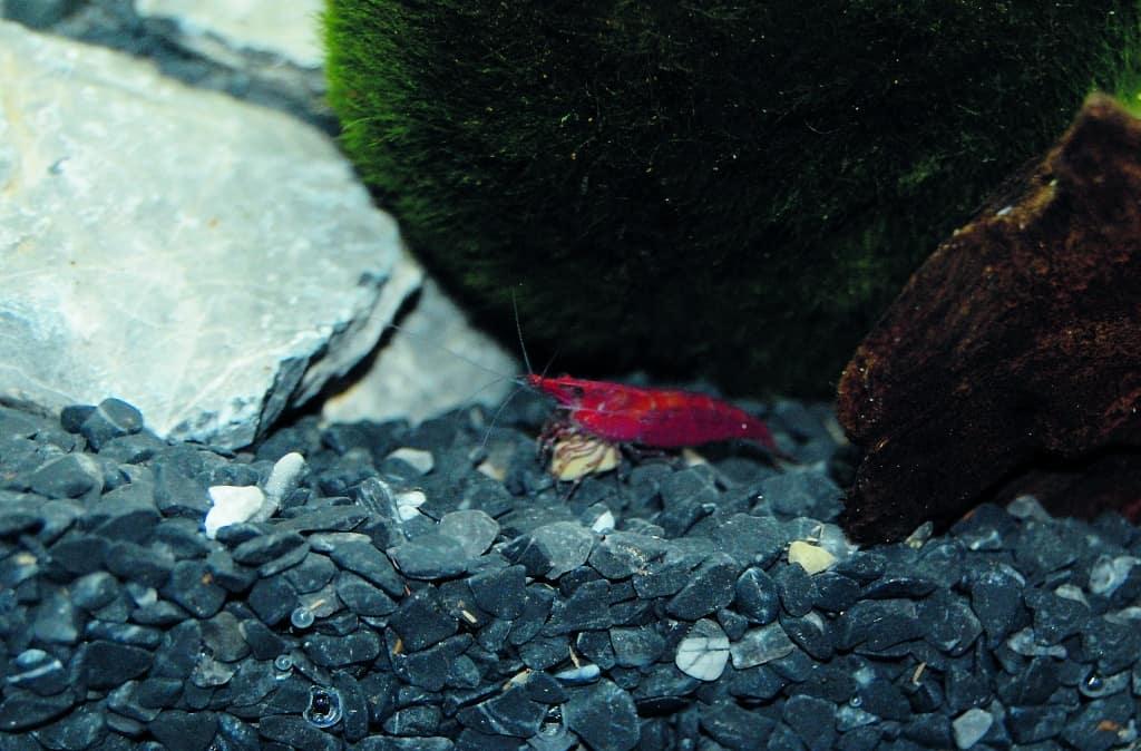 Das Nano Becken (aquastyle, von EHEIM, 24 Liter) wurde mit einigen Turmdeckelschnecken, 3 Lavaschnecken und Red Cherry Zwerggarnelen besetzt.