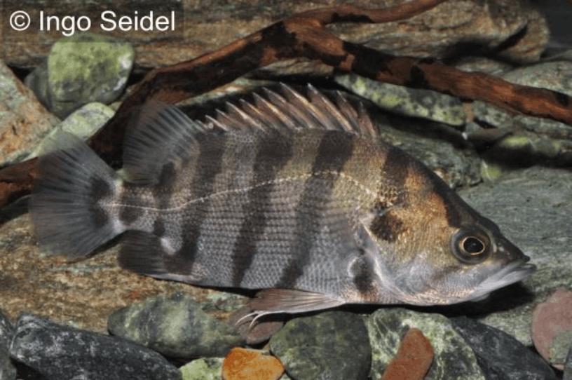 Datnioides polota/quadrifasciatus - Tigerbarsch 1