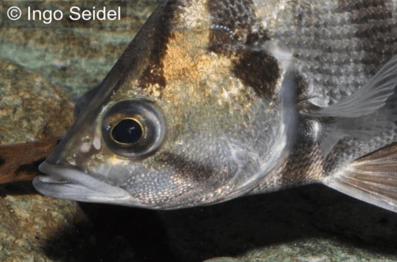 Datnioides polota/quadrifasciatus - Tigerbarsch 2