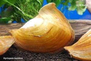 Hyriopsis bialatus - Haifischflossenmuschel 2