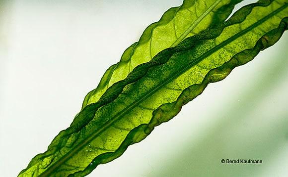 Wundkallus bei einer Wasserpflanze