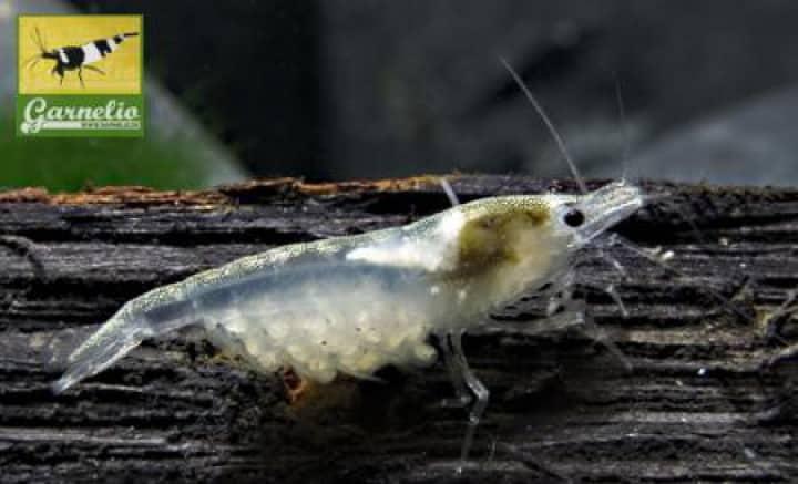 Neocaridina palmata - Weißperlengarnele 9