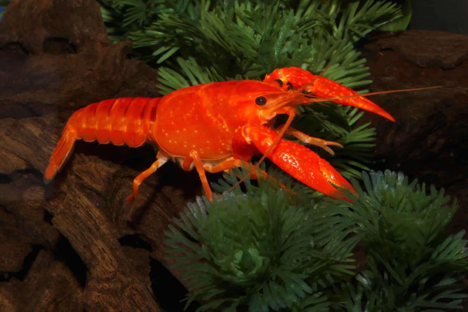 Procambarus clarkii - Orangefarbener amerikanischer Sumpfkrebs 2