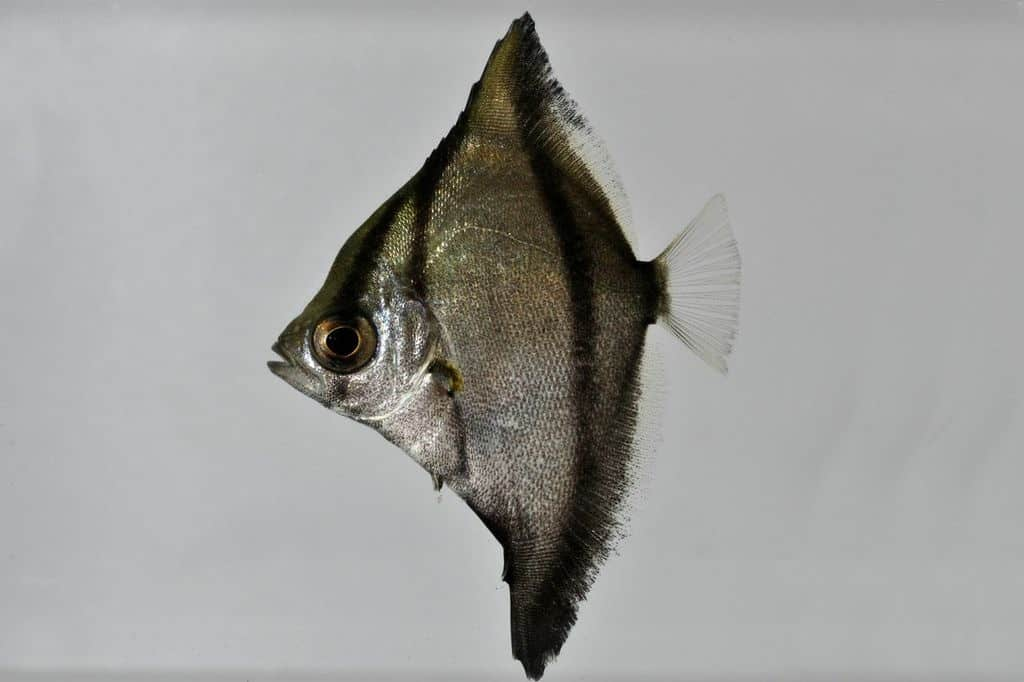 Monodactylus sebae - Seba-Silberflossenblatt 2