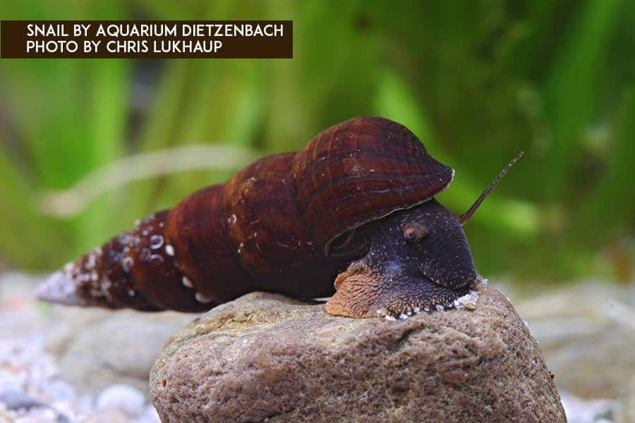 Tylomelania - Turmdeckelschnecke 8