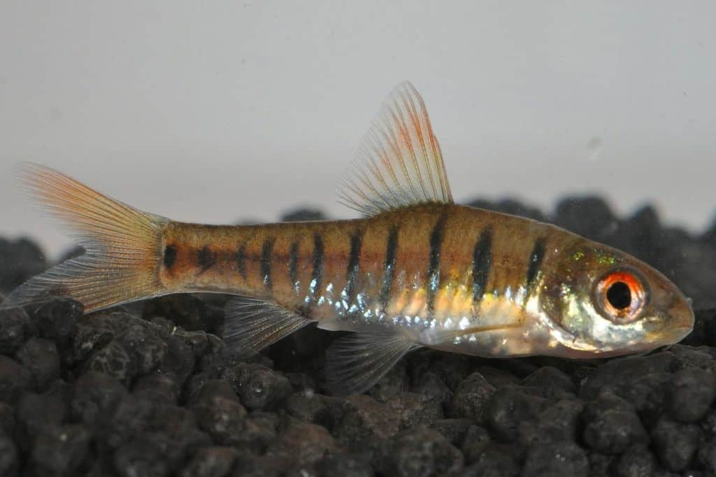 Barbus fasciolatus - Angolabarbe 2
