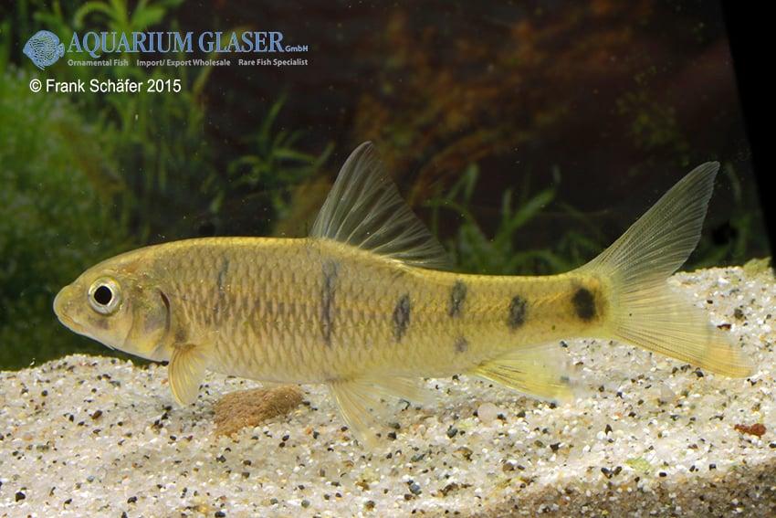 Acrossocheilus paradoxus - Taiwan-Bänderbärbling 2