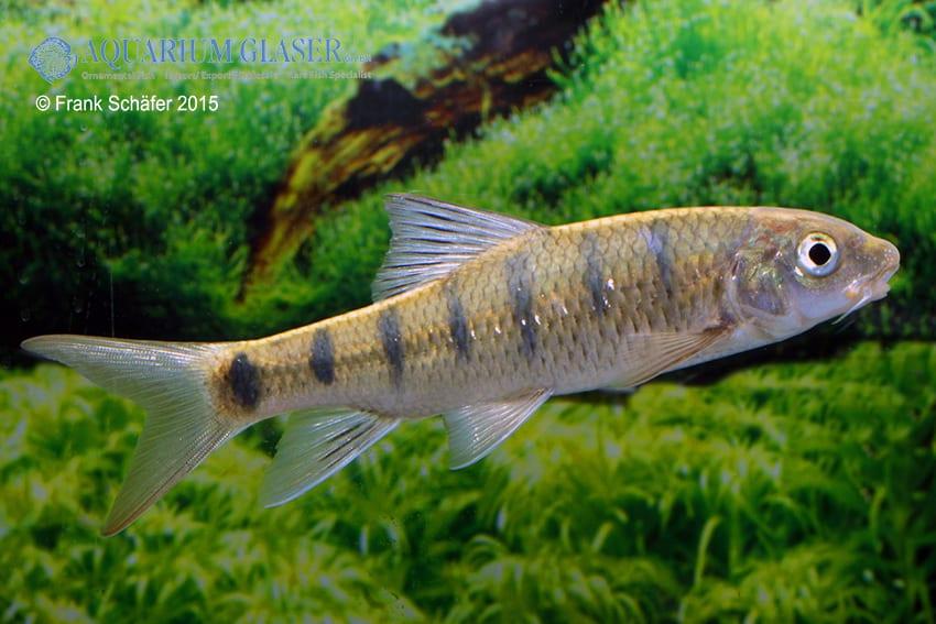 Acrossocheilus paradoxus - Taiwan-Bänderbärbling 4