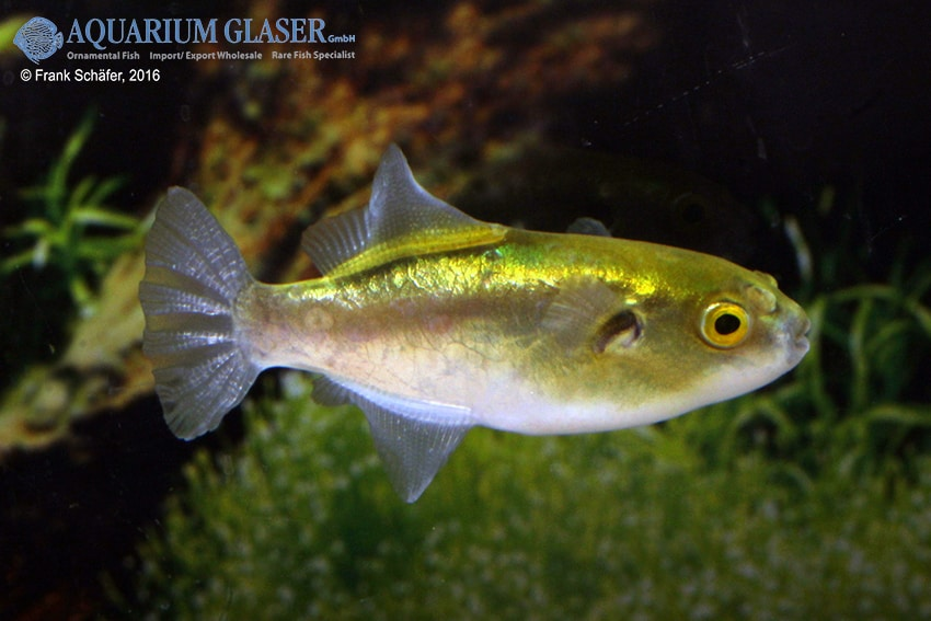 Auriglobus cf. nefastus - Grüner Neon-Süßwasserkugelfisch 4